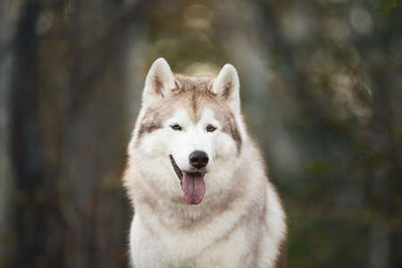 Close-up Portrait of beautiful, free and happy Beige and white dog breed Siberian Husky sitting in the bright autumn forest at sunset Фото со стока - 133399754