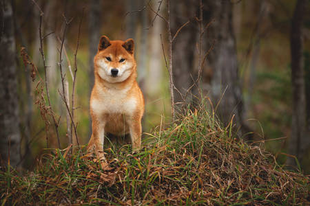 Portrait of adorable and happy shiba inu dog standing on the hill in the forest at golden sunset. Cute and beautiful Red shiba inu female dog in autumn Фото со стока - 133399760