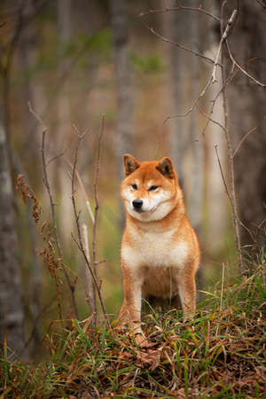 Profile Portrait of adorable and happy shiba inu dog standing on the hill in the forest at golden sunset. Cute and beautiful Red shiba inu female dog in autumn Фото со стока