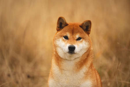 Close-up portrait of a cute red dog breed Shiba inu with tonque hanging out sitting in the field. Beautiful japanese shiba inu female in autumn Фото со стока - 133400735