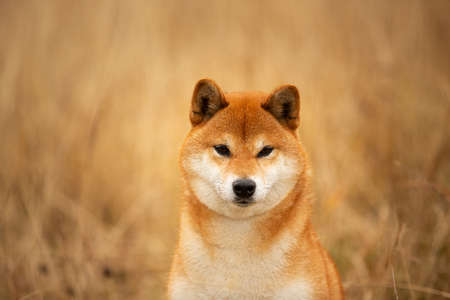 Close-up portrait of a cute red dog breed Shiba inu with tonque hanging out sitting in the field. Beautiful japanese shiba inu female in autumn Фото со стока - 133400334