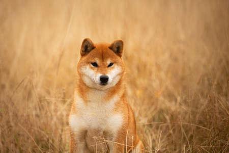 Portrait of a cute red dog breed Shiba inu sitting in the field. Beautiful japanese shiba inu female in autumn
