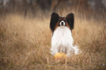 Close-up Portrait of beautiful and happy papillon dog sitting in the field in fall. Gorgeous Continental toy spaniel with pumpkin and apples outdoors