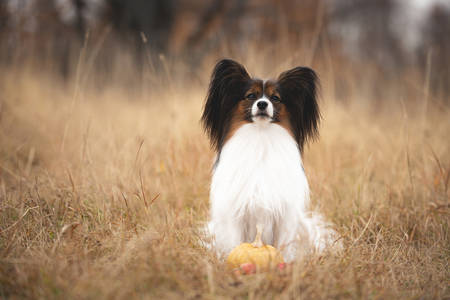 Close-up Portrait of beautiful and happy papillon dog sitting in the field in fall. Gorgeous Continental toy spaniel with pumpkin and apples outdoors Фото со стока - 132813742