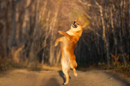 Portrait of adorable and happy shiba inu dog jumping in the forest at golden sunset. Cute, funny and crazy Red shiba inu female puppy in autumn