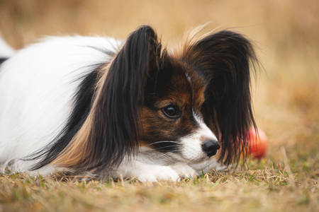 Profile Portrait of beautiful papillon dog with pumpkin and apples lying in the field in fall. Gorgeous Continental toy spaniel outdoors at sunset Фото со стока - 132813355