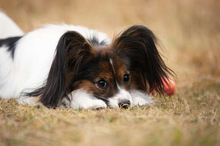 Close-up Portrait of beautiful papillon dog with apples lying in the field in fall. Gorgeous Continental toy spaniel outdoors at sunset
