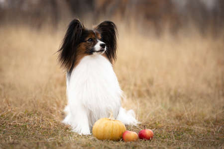 Profile Portrait of beautiful and happy papillon dog sitting in the field in fall. Gorgeous Continental toy spaniel with pumpkin and apples outdoors Фото со стока