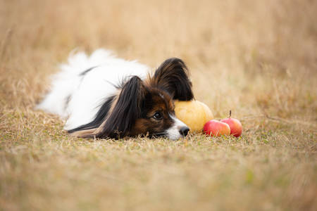 Profile Portrait of beautiful papillon dog with pumpkin and apples lying in the field in fall. Gorgeous Continental toy spaniel outdoors at sunset Фото со стока - 132813528