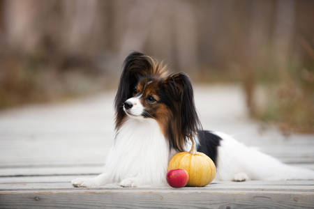 Profile Portrait of beautiful papillon dog with pumpkin and apples lying on the wooden bridge. Gorgeous Continental toy spaniel outdoors at sunset Фото со стока