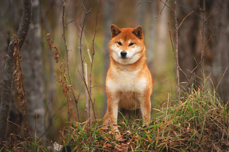 Portrait of adorable and happy shiba inu dog standing on the hill in the forest at golden sunset. Cute and beautiful Red shiba inu female dog in autumn