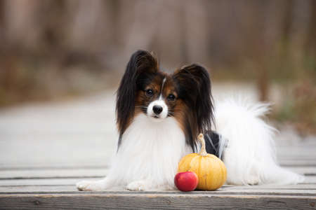 Portrait of beautiful papillon dog with pumpkin and apples lying in the field in fall. Gorgeous Continental toy spaniel outdoors at sunset Фото со стока - 133246838
