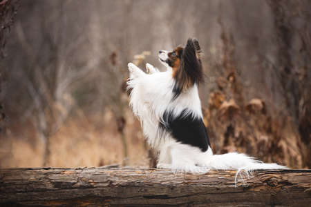 Profile portrait of Papillon dog sitting with paw up on a wooden bridge in the forest. Beautiful and happy Continental toy spaniel outdoors Фото со стока - 133248358