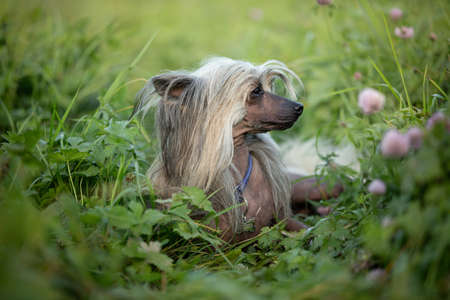 Profile Portrait of beautiful and happy hairless Chinese Crested Dog lying in the green field in summer at sunset