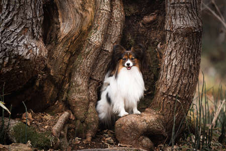 Portrait of Papillon dog sitting in the trees roots in the forest. Beautiful and happy Continental toy spaniel outdoors
