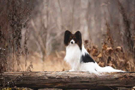 Portrait of Papillon dog sitting on a wooden bridge in the forest. Beautiful and happy Continental toy spaniel outdoors Фото со стока - 133271730