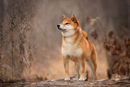 Profile Portrait of adorable and happy shiba inu dog standing on the wooden bridge in the forest. Cute and beautiful Red shiba inu female dog in autumn Фото со стока - 133400587