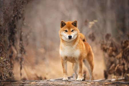Portrait of adorable and happy shiba inu dog standing on the wooden bridge in the forest. Cute and beautiful Red shiba inu female dog in autumn Фото со стока