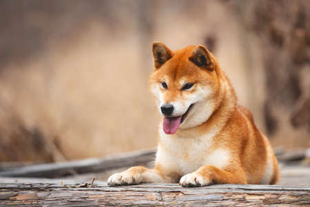 Close-up Portrait of adorable and happy shiba inu dog lying on the wooden bridge in the forest. Cute and beautiful Red shiba inu female dog in autumn Фото со стока - 133400593