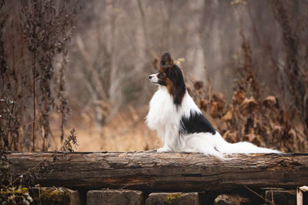 Profile portrait of Papillon dog sitting on a wooden bridge in the forest. Beautiful and happy Continental toy spaniel outdoors