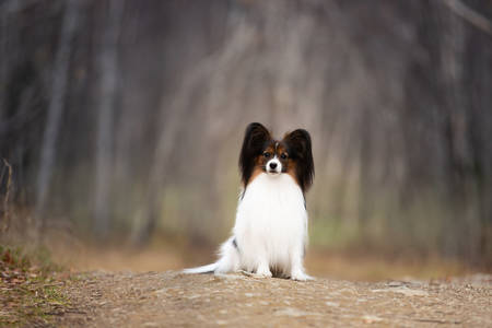 Portrait of Cute Papillon dog sitting on the path in the forest. Beautiful and happy Continental toy spaniel outdoors Фото со стока - 135025859