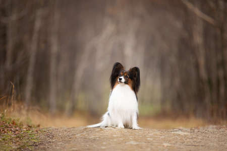 Portrait of Papillon dog sitting on the path in the forest. Beautiful and happy Continental toy spaniel outdoors Фото со стока