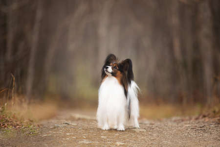 Profile Portrait of Papillon dog standing on the path in the forest. Beautiful and happy Continental toy spaniel outdoors Фото со стока - 135025874