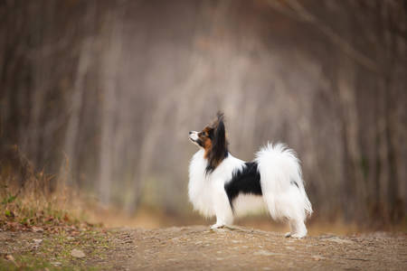 Profile Portrait of Papillon dog standing on the path in the forest. Beautiful and happy Continental toy spaniel outdoors