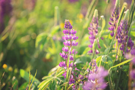 Blooming lupine flowers. A field of lupines. Violet and pink lupin in meadow. Colorful bunch of lupines summer flower background.