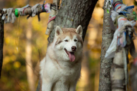 Portrait of Beige and white Siberian Husky dog sitting on the wooden bridge in the forest in bright golden autumn season. Image of young happy husky male looks like a wolf