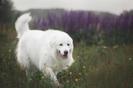 Portrait of beautiful happy maremma sheepdog. Big white fluffy dog breed maremmano abruzzese shepherd walking in the field of lupines in summer at sunset. Cane da pastore Maremmano-Abruzzese Фото со стока