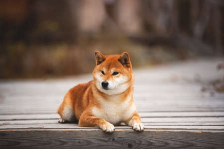 Profile Portrait of adorable and happy shiba inu dog lying on the wooden bridge in the forest. Cute and beautiful Red shiba inu female dog in autumn
