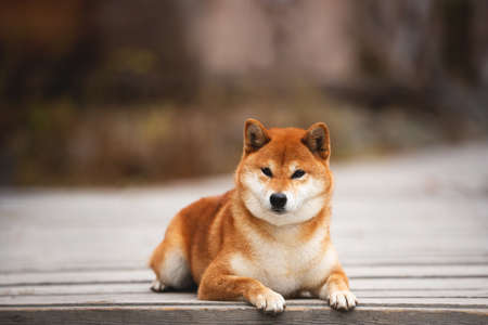 Close-up Portrait of adorable and happy shiba inu dog lying on the wooden bridge in the forest. Cute and beautiful Red shiba inu female dog in autumn