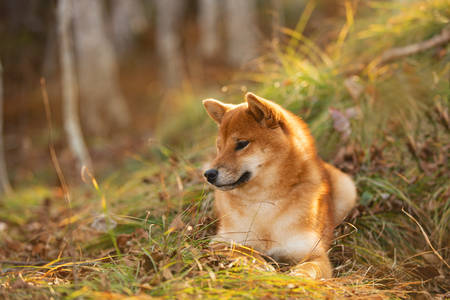 Profile portrait of Beautiful and happy shiba inu dog lying on the grass in the forest at golden sunset. Lovely Red shiba inu female puppy