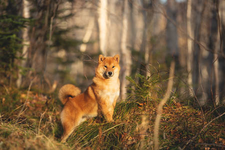 Portrait of lovely and happy shiba inu dog standing on the hill in the forest at golden sunset. Cute and beautiful Red shiba inu female puppy in autumn Фото со стока