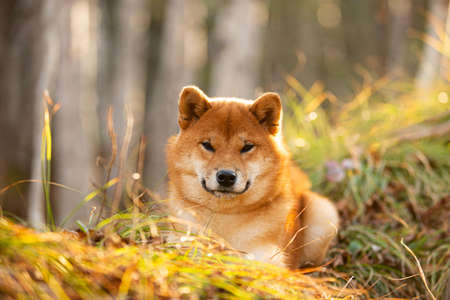 Close-up portraiit of Beautiful and happy shiba inu dog lying on the grass in the forest at golden sunset. Cute Red shiba inu female puppy Фото со стока