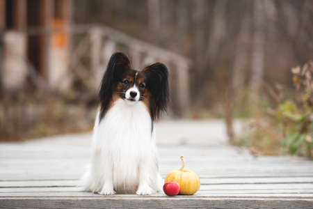 Profile Portrait of beautiful papillon dog with pumpkin and apples lying in the field in fall. Gorgeous Continental toy spaniel outdoors at sunset