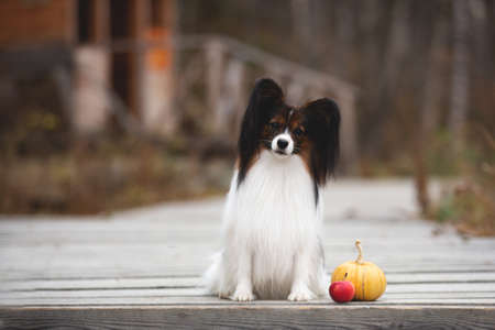 Portrait of beautiful papillon dog with pumpkin and apples lying in the field in fall. Gorgeous Continental toy spaniel outdoors at sunset