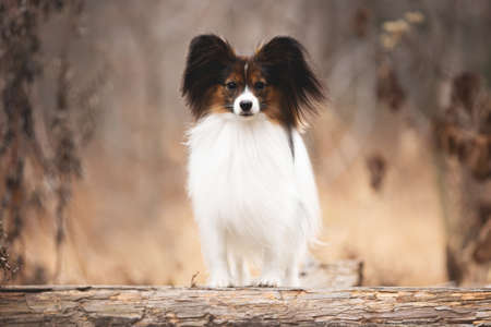 Portrait of Papillon dog standing on a wooden bridge in the forest. Beautiful and happy Continental toy spaniel outdoors Фото со стока