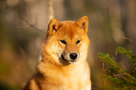 Close-up Portraiit of adorable and happy shiba inu dog sitting in the forest at golden sunset. Cute Red shiba inu female puppy in autumn