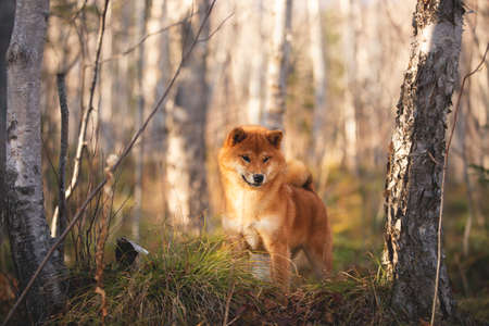 Profile Portrait of adorable and happy shiba inu dog standing on the hill in the forest at golden sunset. Cute and beautiful Red shiba inu female puppy in autumn