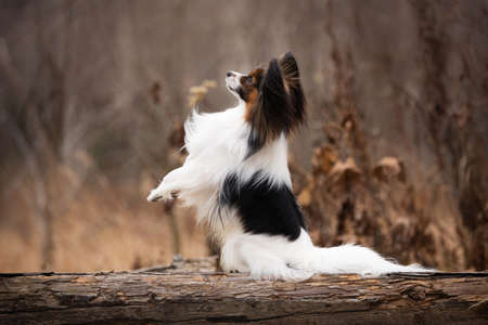 Profile portrait of Papillon dog sitting with paw up on a wooden bridge in the forest. Beautiful and happy Continental toy spaniel outdoors