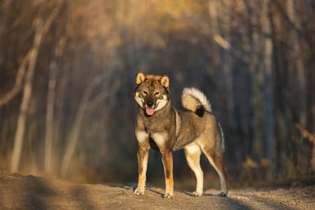 Close-up portrait of happy and beautiful japanese dog breed shikoku standing in the forest in autumn at sunset Фото со стока