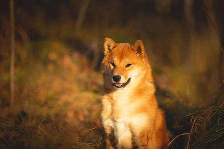 Profile Portraiit of adorable and happy shiba inu dog sitting in the forest at golden sunset. Cute Red shiba inu female puppy in autumn