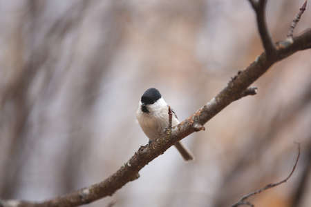 Close-up Image of tiny marsh tit bird sitting on the branch in the forest. Фото со стока