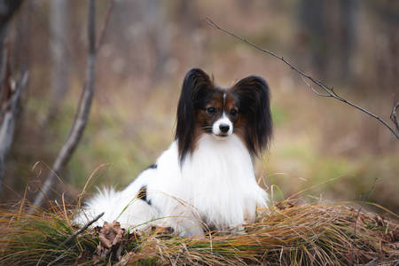 Close-up Portrait of adorable white and brindle dog breed papillon lying under the tree in the forest in the fall. Continental toy Фото со стока