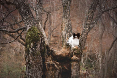 Portrait of cute Papillon dog sitting on the tree in the forest in fall. Beautiful and happy Continental toy spaniel outdoors Фото со стока