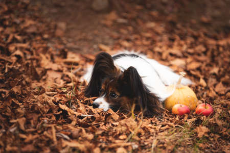 Profile Portrait of Cute dog breed papillon lying on the falling leaves in the forest in autumn