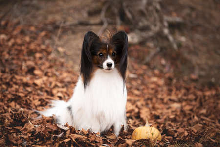 Portrait of Cute dog breed papillon sitting on the falling leaves in the forest in autumn Фото со стока
