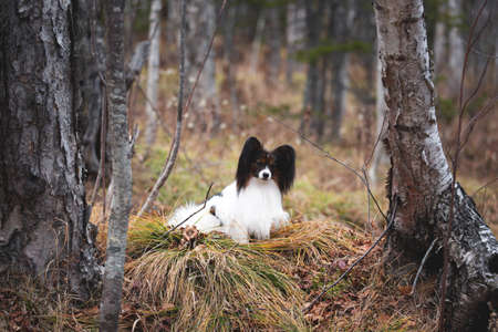 Portrait of adorable white and brindle dog breed papillon lying under the tree in the forest in the fall. Continental toy